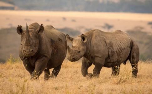 rinocerontes africa