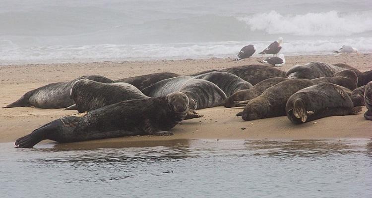 focas grises EEUU