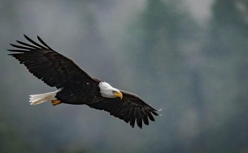 Francia adiestra águilas para interceptar drones