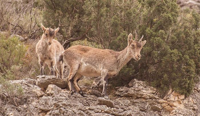 cabras drones